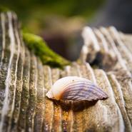 Wangerooge Muschel auf Holz
